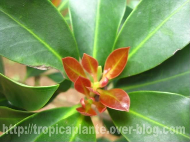 [Illiciaceae] Illicium verum, anis etoilé quelle region?!!! Illici12