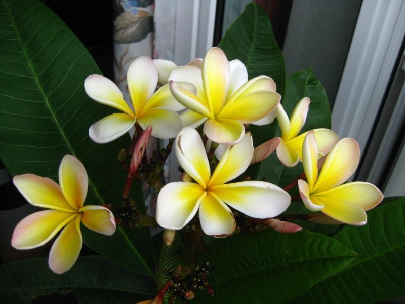 Pluméria en Fleurs Img_6710