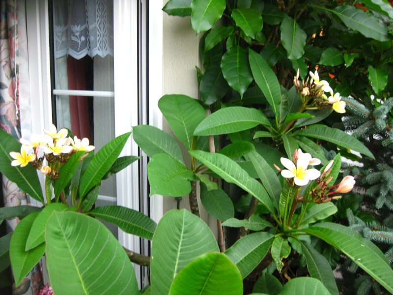 Pluméria en Fleurs Img_6712