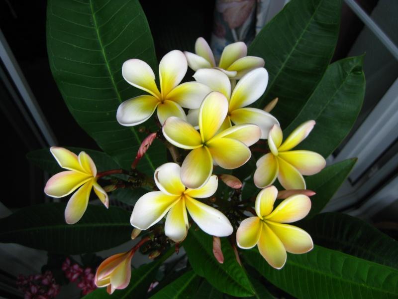 Pluméria en Fleurs Img_6810