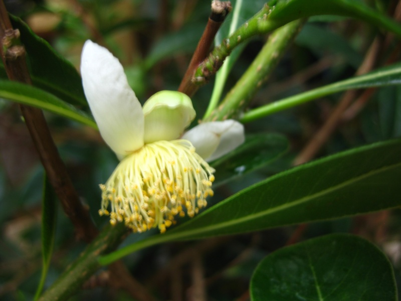 [Theaceae] Camellia sinensis Img_6814