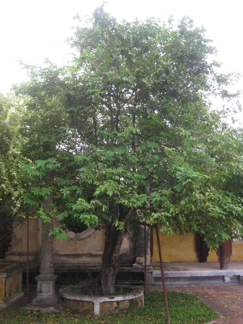 [Oxalidaceae] Averrhoa carambola Img_7810