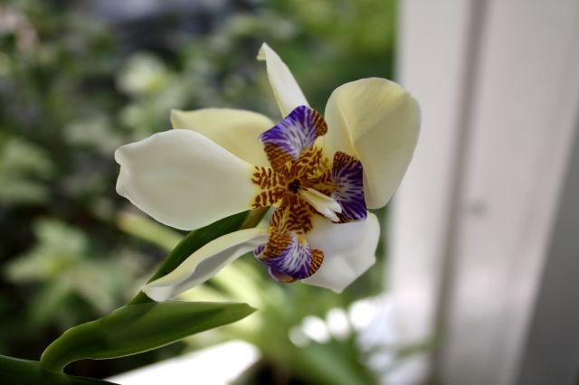 Iris neomarica gracilis Iris_n10