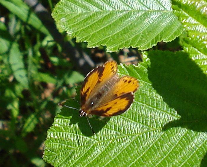 id - papillon 1-dsc013