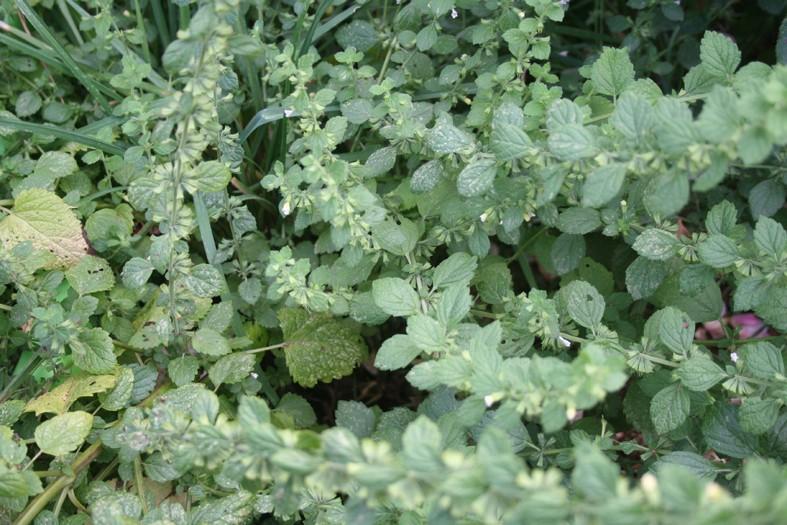 [Atelier plantes sauvages ] Aide à l'identification des plantes Img_8620