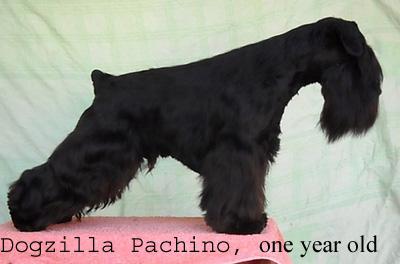 Pachino Dogzilla Sajt_010