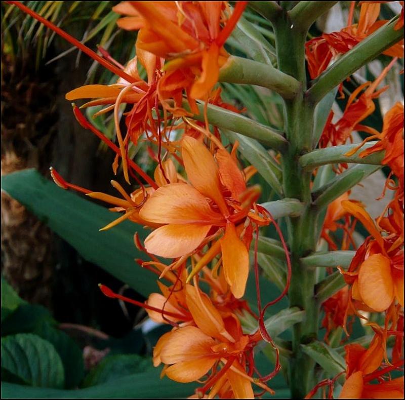 """Hedychium coccineum """"Tara"""" Hedych11"""