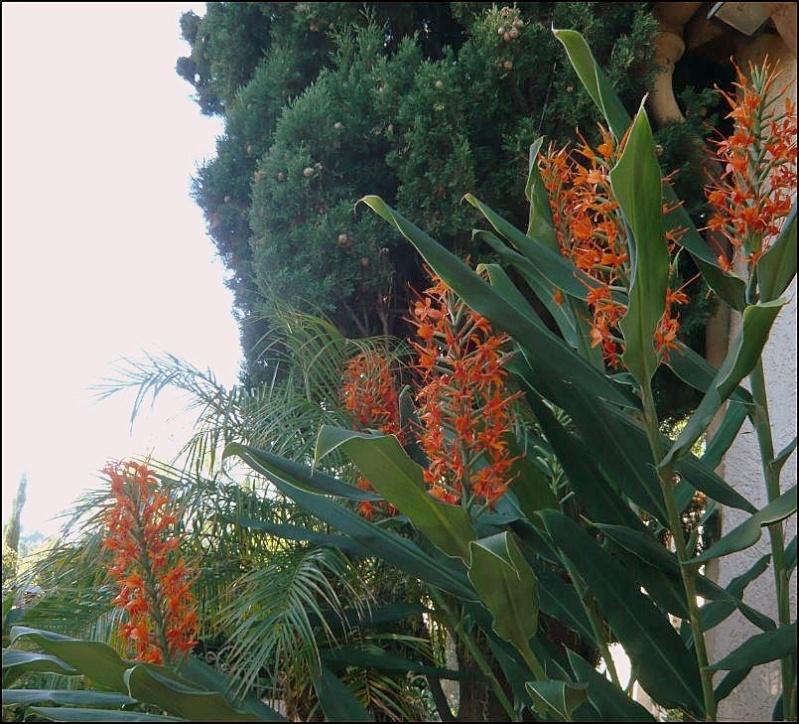 """Hedychium coccineum """"Tara"""" Hedych12"""