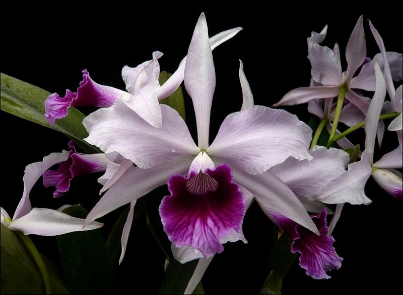 Cattleya (Laelia) purpurata var. venosa 'Boa Forma' Laelia10