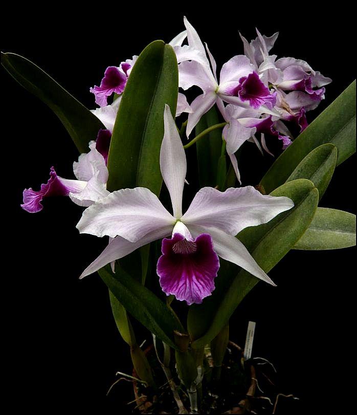 Cattleya (Laelia) purpurata var. venosa 'Boa Forma' Laelia11