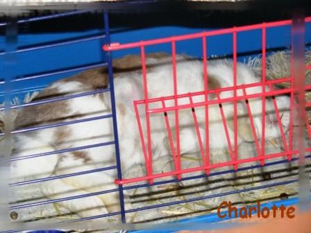 Charlotte,  lapine stérilisée, née en 2009 - Page 2 Fa_jan13