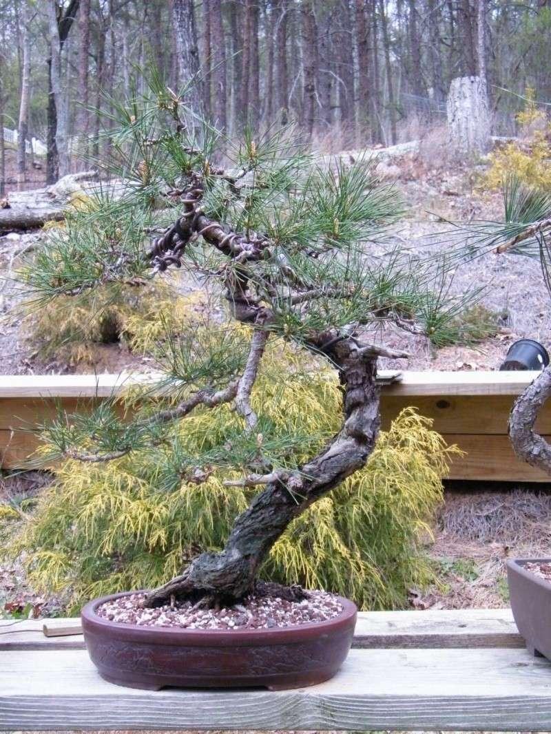 Japanese Red Pine Dscf1410