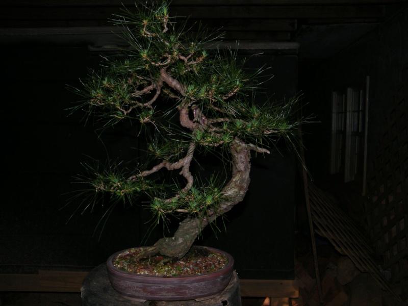 Japanese Red Pine Dscf1710