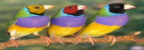 Autres Oiseaux Pinson10