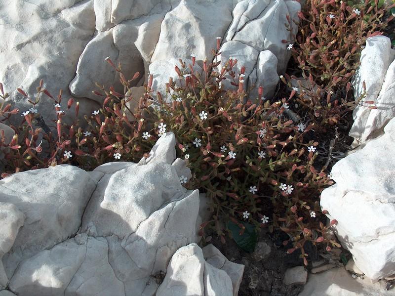 Une balade sur le mont Rose à Marseille Silene10
