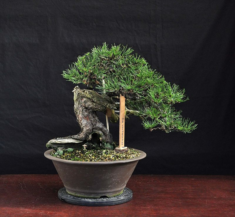 "RESTYLING MY MUGO PINE NAMED ""LITTLE CHAPEL"". 11-10-10"