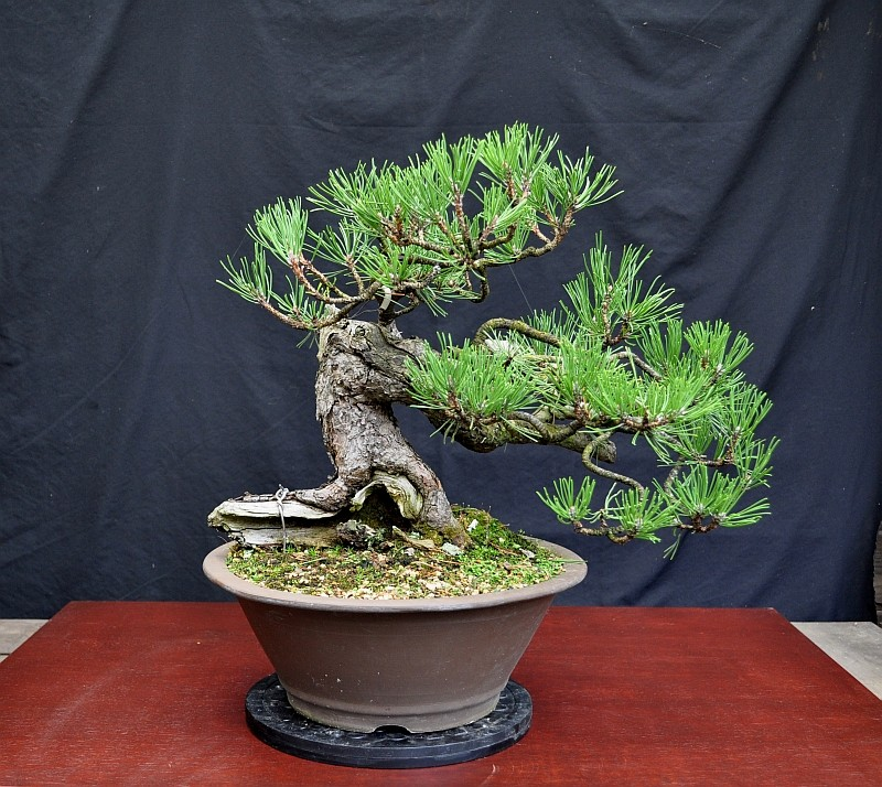 OOPS!!! I STYLED A BONSAI !!! 16-9-210