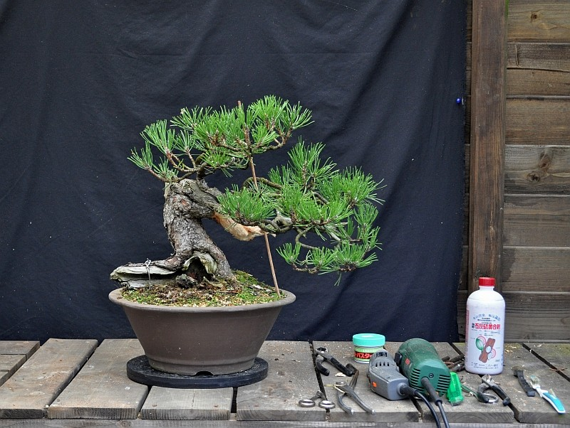OOPS!!! I STYLED A BONSAI !!! 16-9-218
