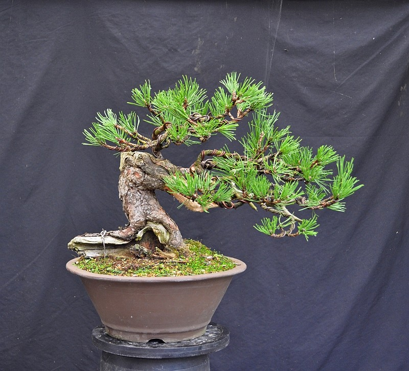 OOPS!!! I STYLED A BONSAI !!! 22-9-211