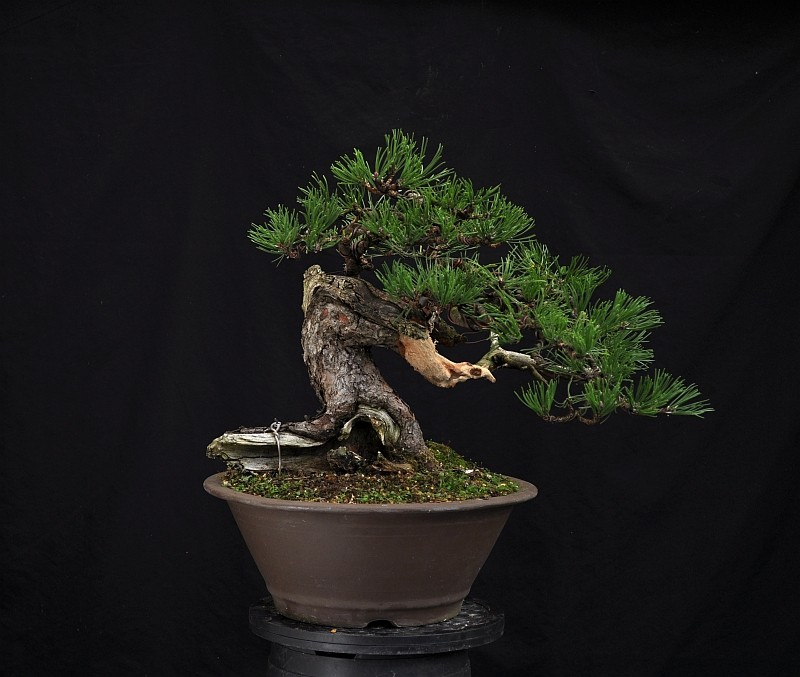 "RESTYLING MY MUGO PINE NAMED ""LITTLE CHAPEL"". 22-9-220"
