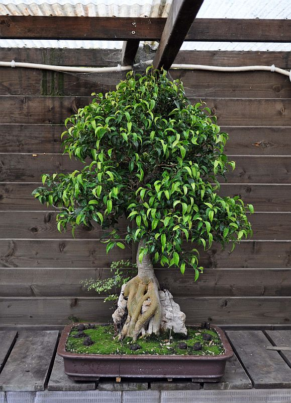 PICTURE OF A 1 EURO FICUS, BOUGHT AT A SUPERMARKET, SOME 19 YEARS AGO! 6-8-2020