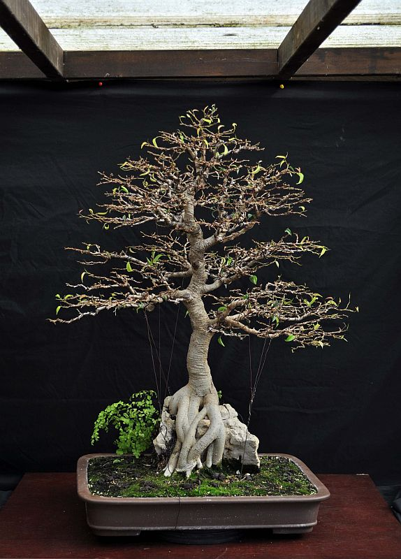 PICTURE OF A 1 EURO FICUS, BOUGHT AT A SUPERMARKET, SOME 19 YEARS AGO! 6-8-2021