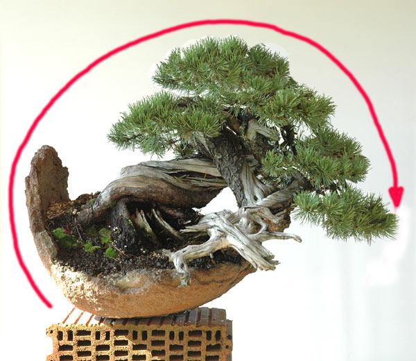 Styling of a mugo pine 610_110