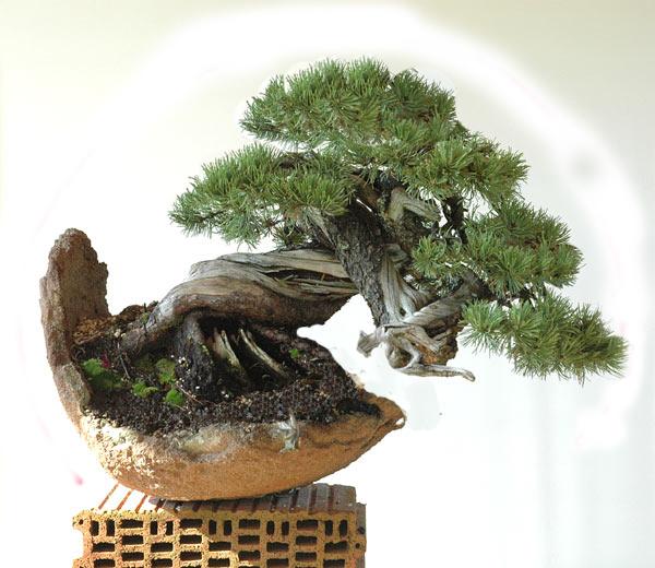 Styling of a mugo pine 610_210