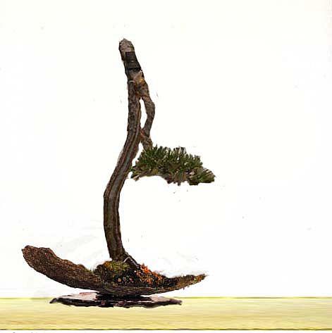 Literati Black Pine from Australia Black_10