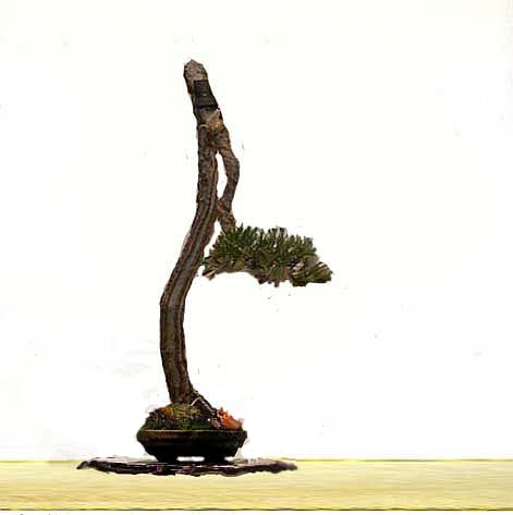 Literati Black Pine from Australia Black_11