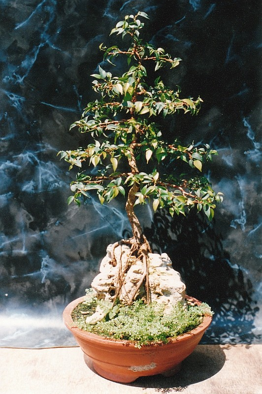 PICTURE OF A 1 EURO FICUS, BOUGHT AT A SUPERMARKET, SOME 19 YEARS AGO! Img_0013