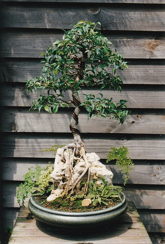 PICTURE OF A 1 EURO FICUS, BOUGHT AT A SUPERMARKET, SOME 19 YEARS AGO! Img_0014