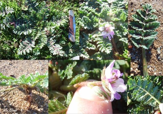Bec de grue musqué /Erodium moschatum Erodiu10