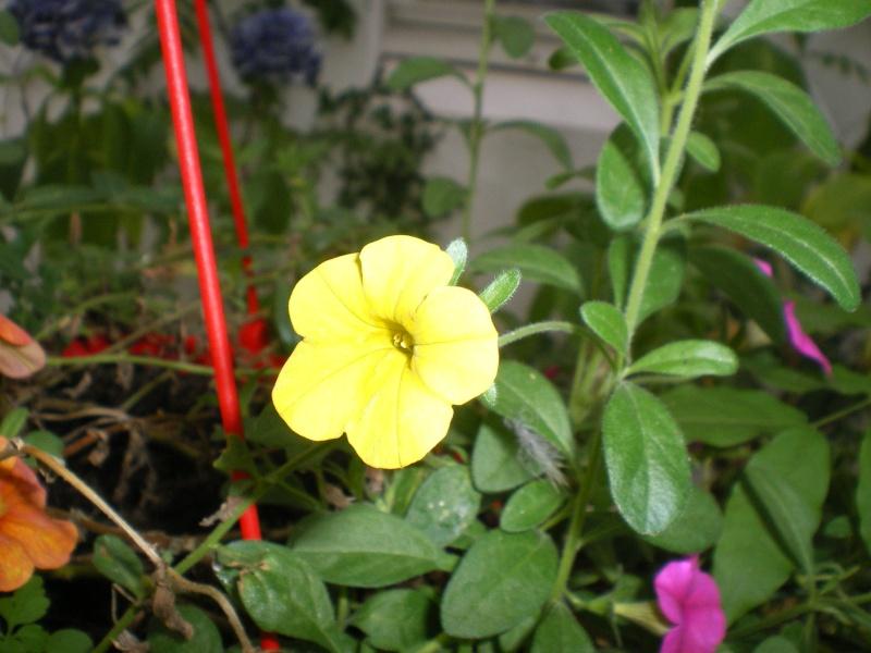 Toutes les fleurs de couleur jaune - Page 2 Imgp8164