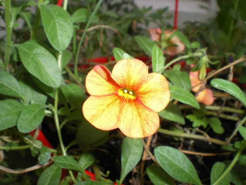 Toutes les fleurs de couleur jaune - Page 2 Imgp8165