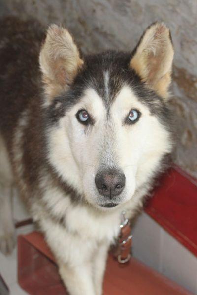 ALASKA (ex)LOUIS husky a l'attache depuis des années (m) 8 ans ref/79DECEDE     - Page 2 Img_2926