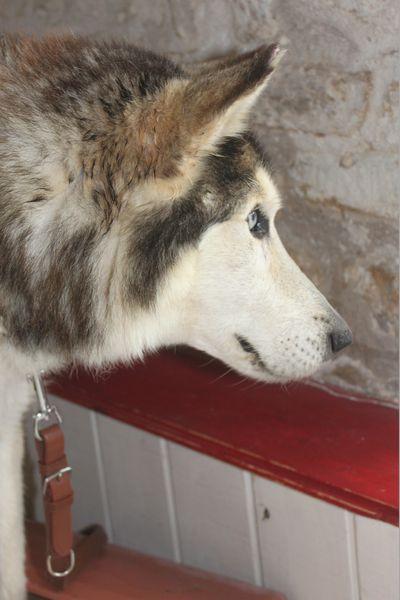 ALASKA (ex)LOUIS husky a l'attache depuis des années (m) 8 ans ref/79DECEDE     - Page 2 Img_2928