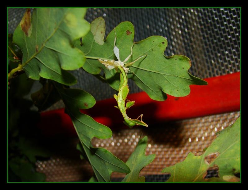 Phyllium westwoodii (celebicum) ( PSG 128) - Page 2 Photo130