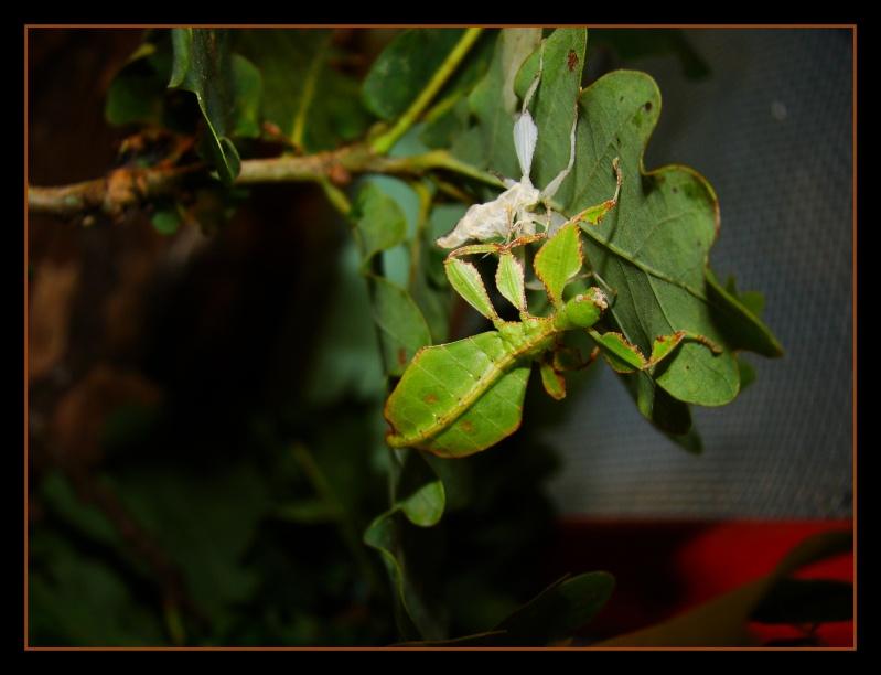 Phyllium westwoodii (celebicum) ( PSG 128) - Page 2 Photo131
