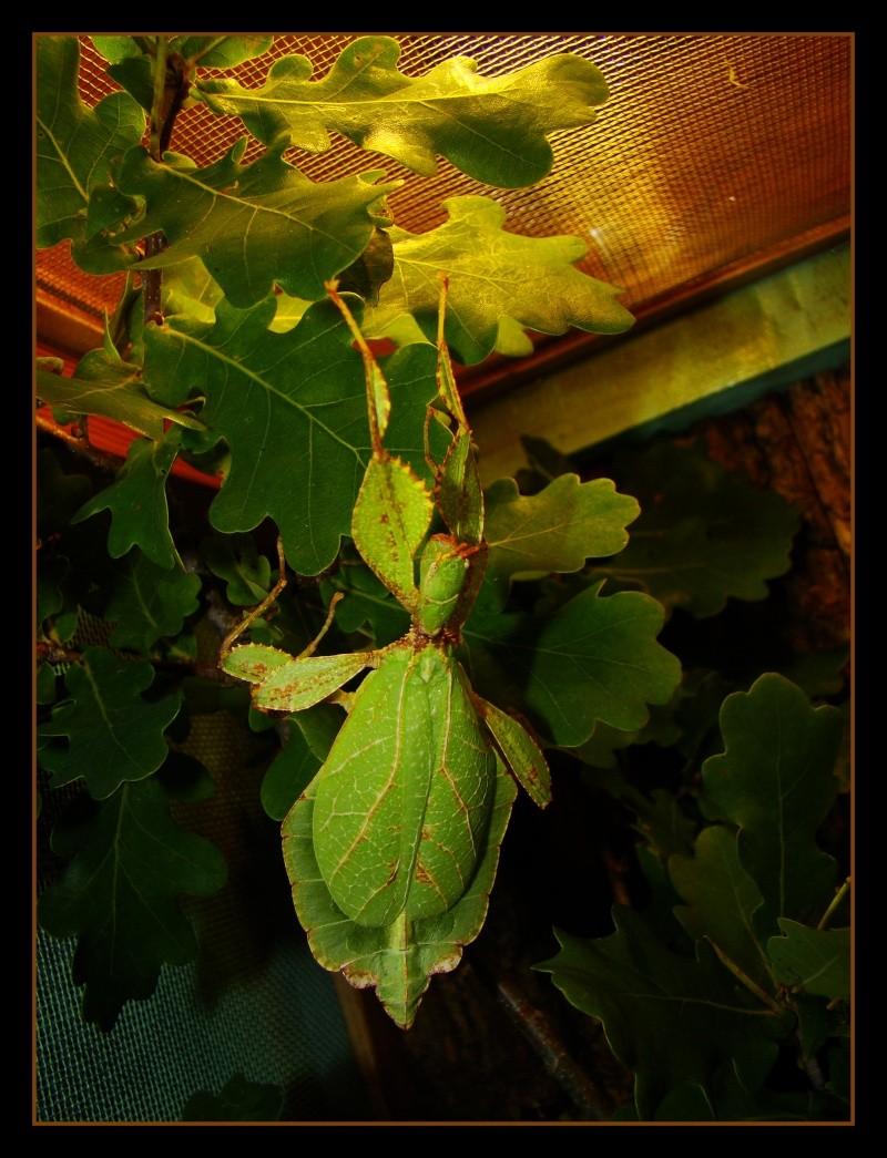 [Phyllium philippinicum (PSG 278)] Photo149