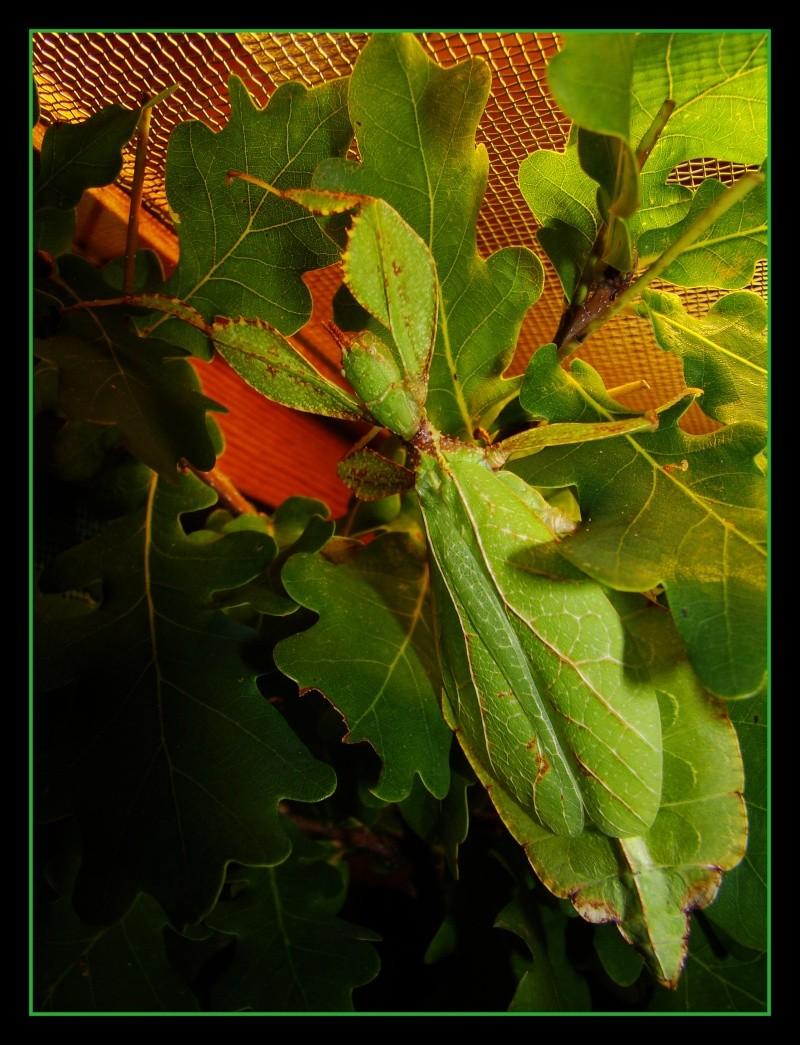 [Phyllium philippinicum (PSG 278)] Photo150