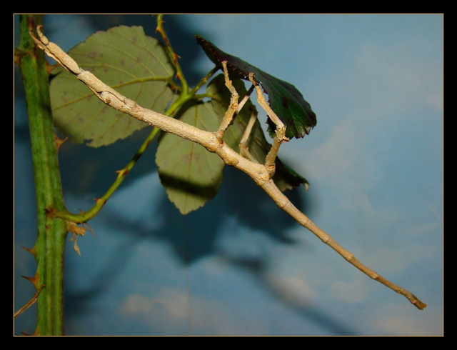 Achrioptera fallax (PSG 327) - Page 2 Photo167