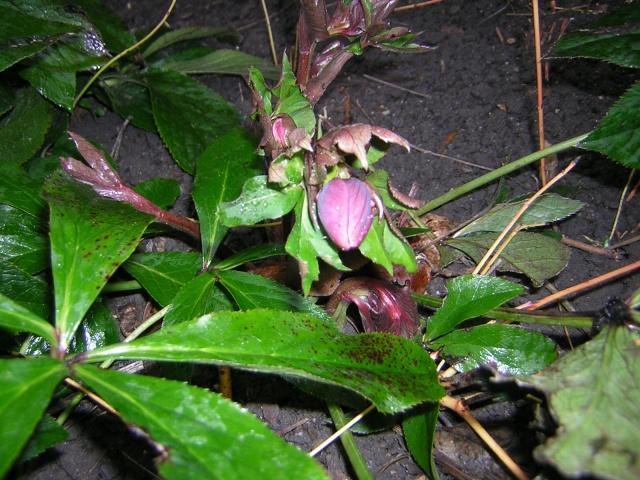 Helleborus niger ou Rose de noel ou Hellebore - Page 6 00311