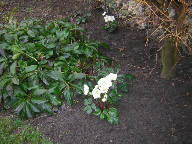 Helleborus niger ou Rose de noel ou Hellebore - Page 6 00411