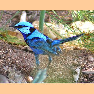 oiseau à identifier Splend10