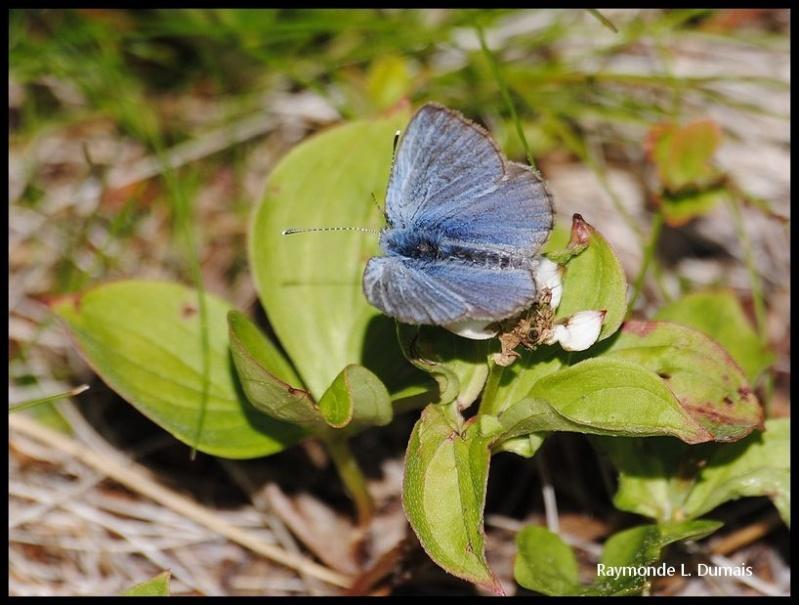 Bleu argenté-glaucopsyche lygdamus couperi Dsc_0012