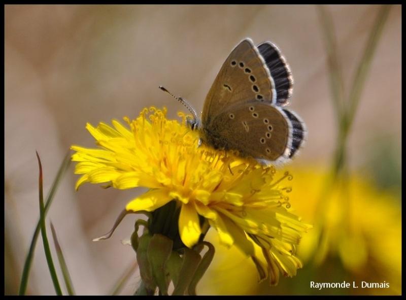 Bleu argenté-glaucopsyche lygdamus couperi Dsc_0811