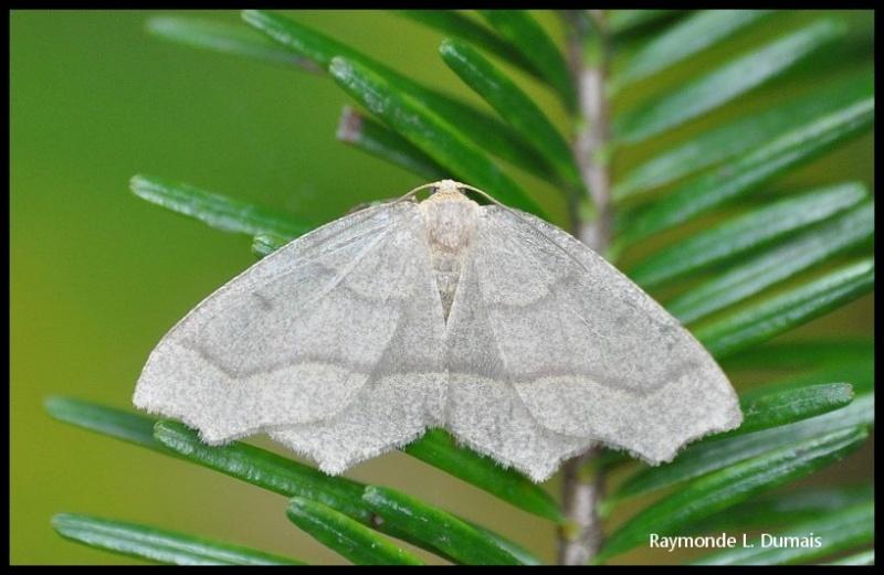 Arpenteuse de la pruche-lambdina fiscellaria Dsc_5810
