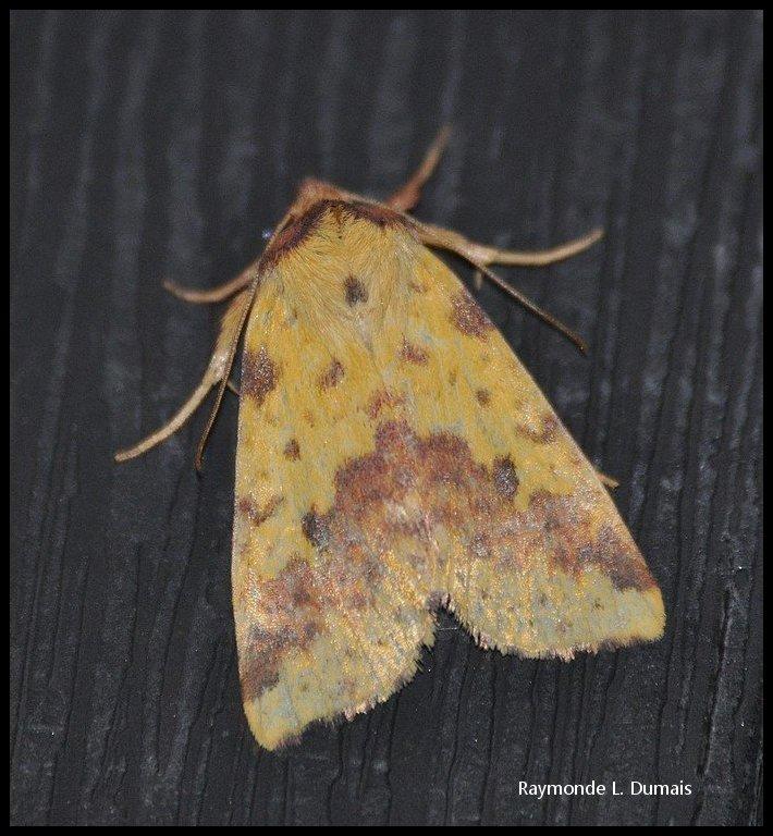 Xanthie jaune tachetée-xanthia tatago Dsc_6213