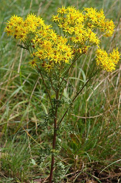 plante toxique Fleur10